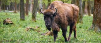 Зубр оказался самым дорогим животным по ОСАГО